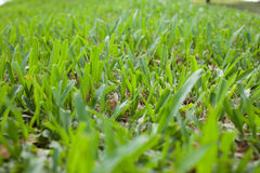 Green grass. On the ground Royalty Free Stock Images