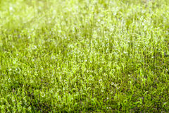 Green grass on the ground. Close up of moss texture, background with copy space royalty free stock photo