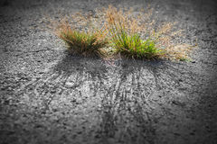 Green grass growing from the Asphalt. Broken from the force of Nature stock images