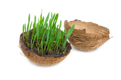 Green grass growing from the cracked coconut. Royalty Free Stock Image