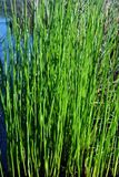Green grass growing in dark water, organic plant texture detail. Background royalty free stock images