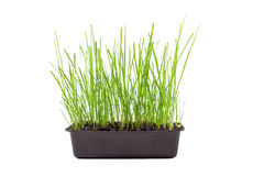 Green grass growing isolated Royalty Free Stock Photography