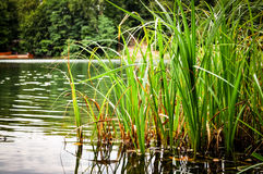 Green grass growing in the lake.  royalty free stock photo