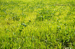 Green grass. Growing in the meadow Stock Images