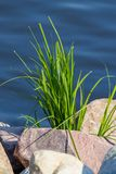 Green grass growing out of the stones against the background of water stock images