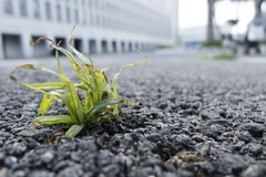 Green grass growing  out of a street asphalt Royalty Free Stock Image