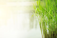 Green grass growing in river side Royalty Free Stock Photo