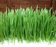 Green grass growing through the snow. Green grass growing against a fence through the snow on a Spring day Royalty Free Stock Photos
