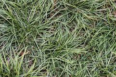 Green grass. Grown in the flower pots and garden at home royalty free stock photography