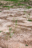 The green grass grows in the dried land Royalty Free Stock Images