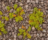Grass on gravel. Green grass grows through layer of gravel Royalty Free Stock Photos