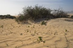 Green grass grows in the sand dunes. Close up photo Stock Photography