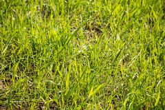 Green grass grows in the sunlight. Is macro, greenery, plant, growth, background, environment, fresh, abstract, sunny, spring, bright, harmony, nature, natural stock photo