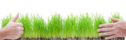 Green grass in hands Royalty Free Stock Image