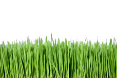 Green grass. Healthy green grass over white background royalty free stock image