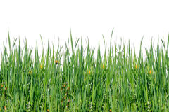 Green grass. Royalty Free Stock Image
