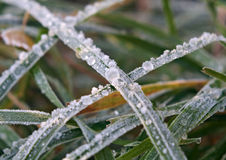 Green grass with hoarfrost Stock Photos
