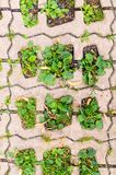 Green grass in  holes of paving blocks. background, pattern Stock Images