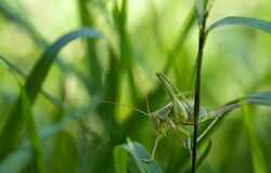 Green Grass Hopper on Green Leaf Grass Royalty Free Stock Photography