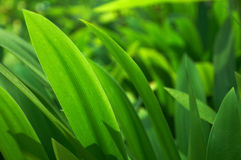 Green grass (horizontal). Background of freshly green grass, shallow depth of field Royalty Free Stock Photos