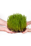 Green grass in human hands Royalty Free Stock Image