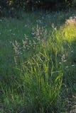 Green grass. Royalty Free Stock Photos