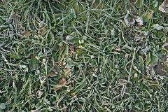 Green grass with ice crystals. Close-up of green grass with ice crystals Stock Image