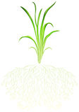 A green grass. Illustration of a green grass on a white background Royalty Free Stock Image