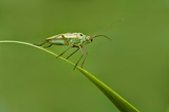 Green grass insect Stock Image
