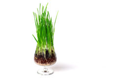 Green grass inside of a glass. Isolated on white - Stock Image Royalty Free Stock Photography