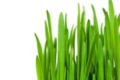 Green grass isilateg on white. macro Stock Image