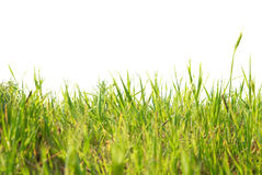 Green grass isolated Stock Photography