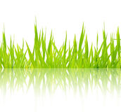 Green grass Isolated. On white background Royalty Free Stock Photos