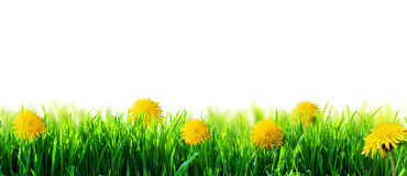 Green grass isolated. Green grass with flowers isolated stock images