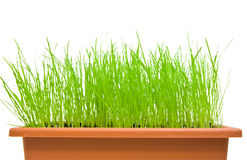 Green grass isolated over white. Isolated green grass in the flowerpot over the white background royalty free stock image