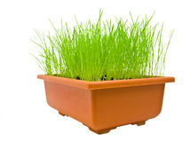Green grass isolated over white. Isolated green grass in the flowerpot over the white background Stock Photos
