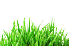 Green grass isolated on the wh. Green grass isolated  on the white background Royalty Free Stock Photo