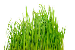 Green grass isolated on white Royalty Free Stock Image