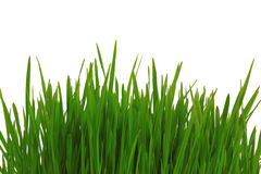Green grass is isolated on a white. Background Royalty Free Stock Image