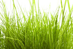 Green Grass isolated on white Stock Images