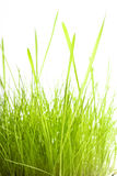 Green Grass isolated on white Stock Image