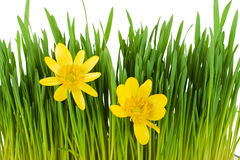 Green grass isolated on the white background Royalty Free Stock Photography