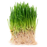 Green grass isolated on white background Stock Image