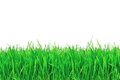 Green grass isolated on a white Royalty Free Stock Image