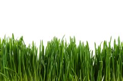 Green grass isolated on white background Stock Photography