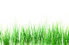 Green grass isolated on white background Royalty Free Stock Images