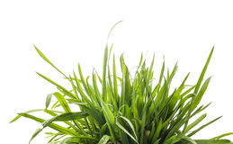 Green grass, isolated on white Royalty Free Stock Photo