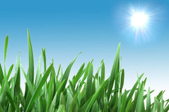 Green grass isolated  on the white background Royalty Free Stock Images