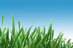 Green grass isolated on the white background Royalty Free Stock Photos