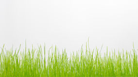Green grass isolated on white. Royalty Free Stock Image